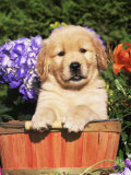 Golden Retriever Puppy in Bucket (Canis Familiaris) Illinois, USA Photographic Print by Lynn M. Stone