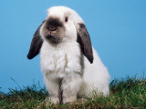 Lop-Eared Dwarf Rabbit Reproduction photographique par Petra Wegner