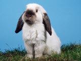 Lop-Eared Dwarf Rabbit Impressão fotográfica por Petra Wegner