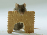 Domestic Mouse Eating Biscuit Lámina fotográfica por  Steimer