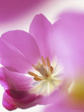 Studio Shot, Close-Up of a Pink Tulip (Tulipa) Flower Reproduction photographique par Pearl Bucknall
