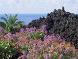 Roadside Flowers, La Palma, Canary Islands, Spain Reproduction photographique par Jean Brooks