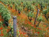 Vineyards Near Sauterne, Gironde, Aquitaine, France Lámina fotográfica por Michael Busselle