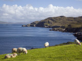 Sheep Grazing by Rugged Coastline of Coulagh Bay on Ring of Beara Tourist Route Reproduction photographique par Pearl Bucknall