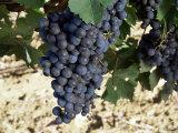 Cabernet Sauvignon Grapes, Gaillac, France Lámina fotográfica por Robert Cundy