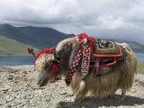 Decorated Yak, Turquoise Lake, Tibet, China Fotografisk tryk af Ethel Davies