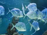 Aquarium, Oceanographic Institute, Monaco-Veille, Monaco Fotografisk tryk af Ethel Davies
