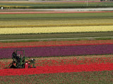 Working in the Tulip Rows in the Bulb Fields, Near Lisse, Holland (The Netherlands) Impressão fotográfica por Gary Cook
