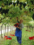 Man Picking Kabinett Grapes at Traminer Below Bolzano, Alto Adige, Italy Photographic Print by Michael Newton