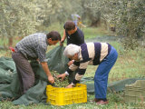 Michele Galantino Gathering Olives for Fine Extra Virgin Oil on His Estate, Puglia, Italy Photographic Print by Michael Newton