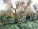 Vibrating the Olives from the Trees in the Olive Groves of Marina Colonna, Molise, Italy Photographic Print by Michael Newton
