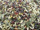 Close-Up of Olives Harvested at Frantoio Galantino, Bisceglie, Puglia, Italy Photographic Print by Michael Newton