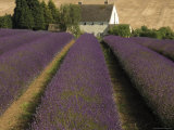 Snowshill Lavender Farm, Gloucestershire, the Cotswolds, England, United Kingdom Photographic Print by David Hughes