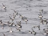 Cape Petrels (Daption Capense), Antarctica, Polar Regions Reproduction photographique par Sergio Pitamitz