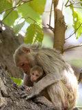 Rhesus Macaque Monkey (Macaca Mulatta), Bandhavgarh National Park, Madhya Pradesh State, India Fotografisk trykk av Thorsten Milse