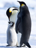 Emperor Penguins (Aptenodytes Forsteri) and Chick, Snow Hill Island, Weddell Sea, Antarctica Fotografisk tryk af Thorsten Milse