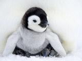 Kejserpingvinunge, Aptenodytes Forsteri, Snow Hill Island, Weddell-havet, Antarktis Fotografisk tryk af Thorsten Milse