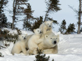 Polar Bear (Ursus Maritimus) Mother with Triplets, Wapusk National Park, Churchill, Manitoba Reproduction photographique par Thorsten Milse