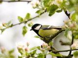 Great Tit (Parus Major) in Apple Tree, Bielefeld, Nordrhein Westfalen, Germany Reproduction photographique par Thorsten Milse
