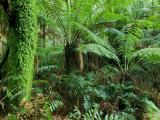 Rainforest, Otway National Park, Victoria, Australia Photographic Print by Thorsten Milse