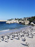 African Penguins at Boulder Beach in Simon's Town, Near Cape Town, South Africa, Africa Photographic Print by Yadid Levy