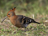 African Hoopoe (Upupa Africana), Pilanesberg National Park, South Africa, Africa Reproduction photographique par James Hager