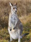 Eastern Grey Kangaroo, Kosciuszko National Park, New South Wales, Australia Photographic Print by Jochen Schlenker