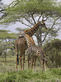 Masai Giraffe Mother and Young, Serengeti National Park, Tanzania, Africa Fotografisk tryk af James Hager