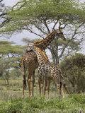 Masai Giraffe Mother and Young, Serengeti National Park, Tanzania, Africa Lámina fotográfica por James Hager