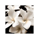 Plumeria View Collectable Print by  Peterson