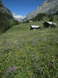 Early Summer Meadow Flowers, Above Kandersteg, Swiss Alps, Switzerland Reproduction photographique par Tony Waltham