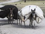 Laden Donkeys, Pal-Kotal-I-Guk, Between Chakhcharan and Jam, Afghanistan Lámina fotográfica por Jane Sweeney