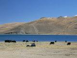 Yaks Graze by Yamdrok Lake Beside Old Lhasa-Shigatse Road, Tibet, China Fotografisk tryk af Tony Waltham