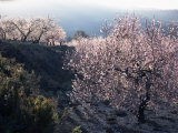 Almond Blossom in Spring, Costa Blanca, Valencia Region, Spain Reproduction photographique par Tony Waltham