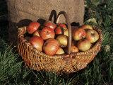 Basket of Cider Apples, Pays d'Auge, Normandie (Normandy), France Fotografisk tryk af Guy Thouvenin