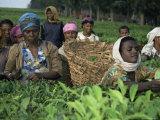 Picking Tea on a Plantation, Bonga Forest, Ethiopia, Africa Lámina fotográfica por D H Webster