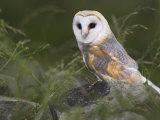 Barn Owl on Dry Stone Wall, Tyto Alba, United Kingdom Photographic Print by Steve & Ann Toon