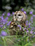Captive Tawny Owl (Strix Aluco) in Bluebells, United Kingdom Fotoprint van Steve & Ann Toon