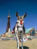 Seaside Donkey on Beach with Blackpool Tower Behind, Blackpool, Lancashire, England Lámina fotográfica por Steve & Ann Toon