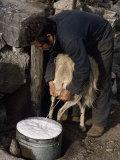 Shepherd Milking Sheep for Cheese, Island of Crete, Greece Fotografisk tryk af Loraine Wilson