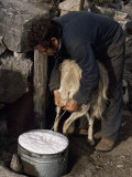 Shepherd Milking Sheep for Cheese, Island of Crete, Greece Lámina fotográfica por Loraine Wilson