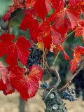 Vine in Autumn, St. Emilion, Bordeaux, France Lámina fotográfica por Adam Woolfitt
