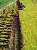 Harvesting Rice, Japan Lámina fotográfica por Richard I'Anson