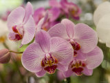 Pink Orchids at Orchid Garden, Kuala Lumpur, Wilayah Persekutuan, Malaysia Photographic Print by Greg Elms
