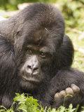 Silverback Mountain Gorilla in Parc National des Volcans, Rwanda Fotografie-Druck von Ariadne Van Zandbergen