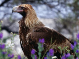 Profile of Wedge-Tailed Eagle, Australia Photographic Print by Oliver Strewe