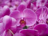 Orchid at Flower Market, Kowloon, Hong Kong, China Lámina fotográfica por Holger Leue