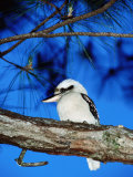 Kookaburra, Queensland, Australia Lámina fotográfica por Holger Leue
