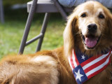 Dog Wearing Patriotic Scarf, Anchorage, Alaska Fotoprint av Brent Winebrenner