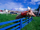 All Alaskan Racing Pig Jumping Fence in Race at Alaska State Fair, Palmer, Alaska Reproduction photographique par Brent Winebrenner
